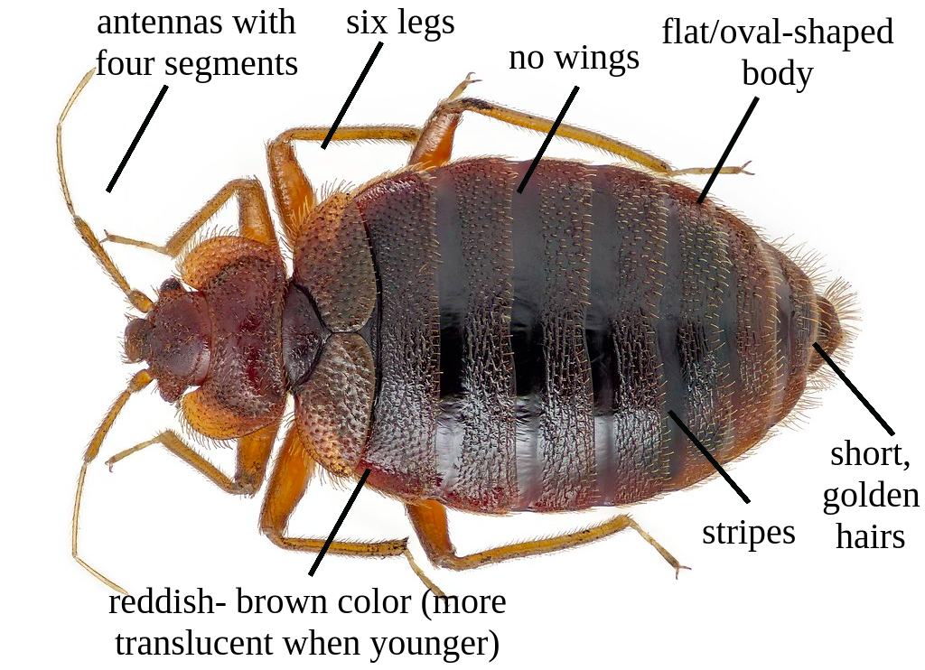 how to ID a bed bug
